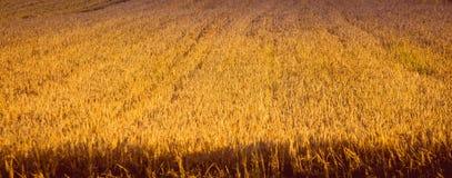 Campo maduro da cevada com um farme Fotos de Stock
