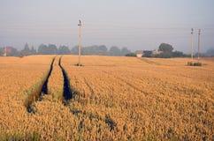 Campo maduro de la cosecha del trigo del extremo del verano en luz del sol de la mañana Foto de archivo libre de regalías