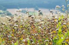 Campo maduro del alforfón en un día soleado Fotografía de archivo libre de regalías