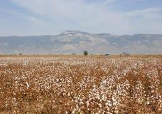 Campo maduro del algodón Imágenes de archivo libres de regalías