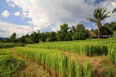 Campo maduro del arroz de la terraza contra el cielo azul Foto de archivo libre de regalías