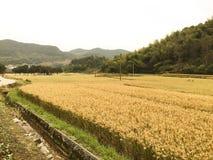Campo maduro do arroz Foto de Stock