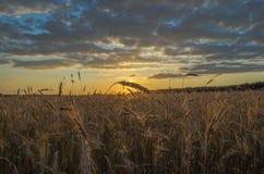 Campo maduro do centeio em um por do sol bonito Imagens de Stock
