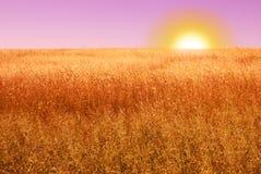 Campo maduro do cereal na noite Imagens de Stock