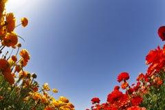 Campo magnífico de ranúnculos amarillos y rojos Imagen de archivo libre de regalías