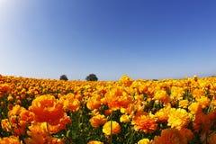 Campo magnífico de ranúnculos anaranjados fotografía de archivo