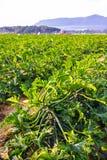 Campo maturo dello zucchini immagine stock