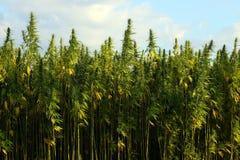 Campo medico della cannabis Fotografia Stock Libera da Diritti