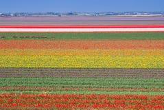 Campo multicolor de los tulipanes. Fotografía de archivo