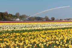 Campo multicolore del narciso in Olanda Fotografia Stock