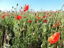 Campo natural das papoilas dos wildflowers e dos caracóis dois Fotos de Stock Royalty Free