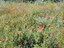 Campo natural dos wildflowers Fotos de Stock Royalty Free