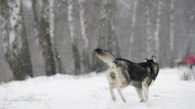 Campo nevado de Husky Dog Running Outdoor In do Siberian no dia de inverno Cão de sorriso Movimento lento, Slo-Mo video estoque