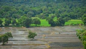 Campo no delta de Mekong, Vietname do sul do arroz Foto de Stock