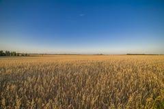 Campo no por do sol que mostra as grões douradas Imagens de Stock Royalty Free