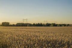 Campo no por do sol que mostra as grões douradas Fotografia de Stock Royalty Free