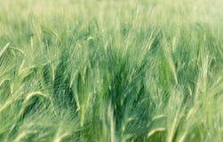 Campo non maturo dei raccolti agricoli grano, avena, segale, orzo Immagine Stock