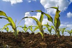 Campo novo das plantas de milho foto de stock