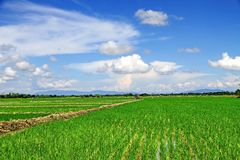 Campo novo do arroz imagens de stock royalty free