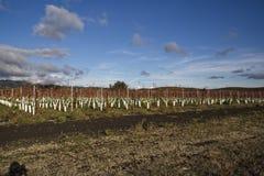 Campo novo do vinhedo na zona leste de Petaluma, CA fotos de stock