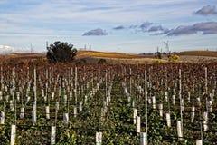 Campo novo do vinhedo na zona leste de Petaluma, CA fotografia de stock royalty free