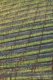 Campo novo do vinho Imagem de Stock