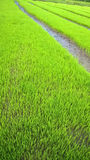 Campo novo novo do arroz Fotografia de Stock