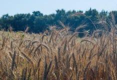 Campo Oídos del trigo cereales Hermosa vista del campo de trigo Cosecha del pan Trigo, centeno Imágenes de archivo libres de regalías