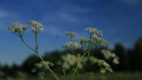 Campo, oídos, prado de la flor almacen de metraje de vídeo