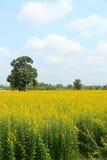 Campo o campo giallo Fotografia Stock
