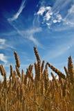 Campo o maíz Fotografía de archivo libre de regalías