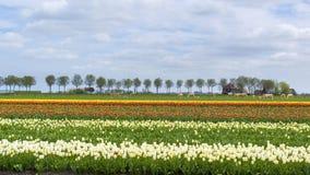 Campo Olanda del tulipano Fotografia Stock