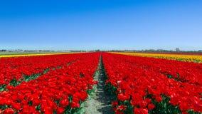 Campo Olanda del tulipano Immagini Stock