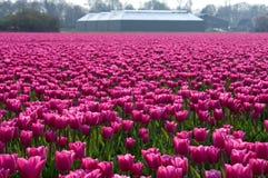 Campo olandese variopinto dei tulipani con l'azienda agricola fotografie stock libere da diritti