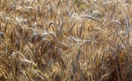 Campo Orecchie del grano cereali Bella vista del giacimento di grano Raccolto di pane Grano, segale Immagini Stock