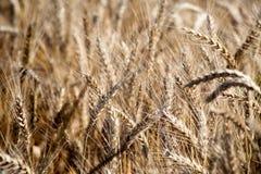 Campo Orecchie del grano cereali Bella vista del giacimento di grano Raccolto di pane Grano, segale Fotografie Stock Libere da Diritti