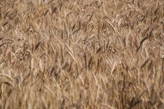 Campo Orecchie del grano cereali Bella vista del giacimento di grano Raccolto di pane Grano, segale Fotografia Stock
