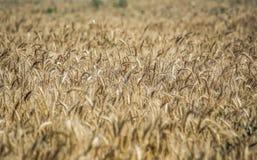 Campo Orecchie del grano cereali Bella vista del giacimento di grano Raccolto di pane Grano, segale Immagine Stock Libera da Diritti