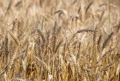 Campo Orecchie del grano cereali Bella vista del giacimento di grano Raccolto di pane Grano, segale Immagini Stock Libere da Diritti