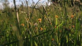 Campo, orecchie, prato del fiore stock footage