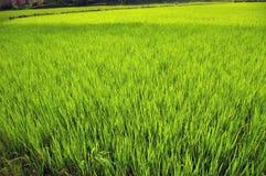 Campo del arroz. foto de archivo
