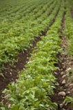 Campo orgânico da batata Imagem de Stock