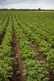 Campo orgânico da batata Fotografia de Stock Royalty Free