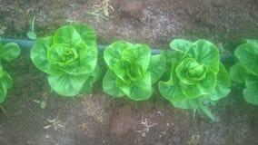 Campo organico della lattuga Immagine Stock Libera da Diritti