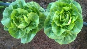 Campo organico della lattuga Immagini Stock