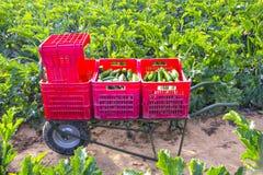 Campo organico dello zucchini in Italia fotografie stock