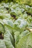 Campo organico verde fresco del giardino del cavolo fotografia stock libera da diritti