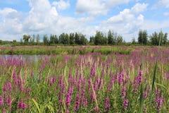 Campo púrpura Fotografía de archivo