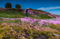 Campo púrpura de flores Fotos de archivo