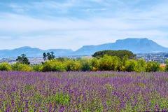 Campo púrpura del lucerne delante de la montaña del vector Foto de archivo